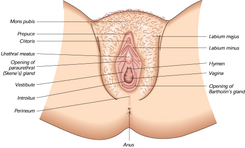 A basic labiaplasty reference diagram